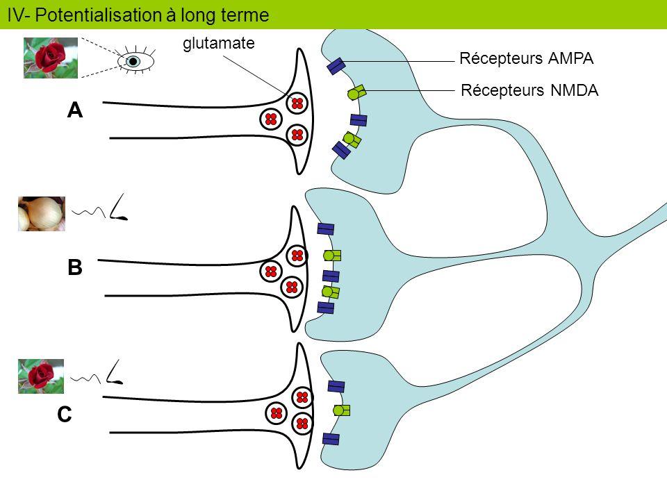 A B C Récepteurs AMPA Récepteurs NMDA glutamate IV- Potentialisation à long terme