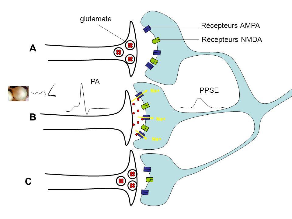 A PA B C Na+ PPSE Na+ Récepteurs AMPA Récepteurs NMDA glutamate