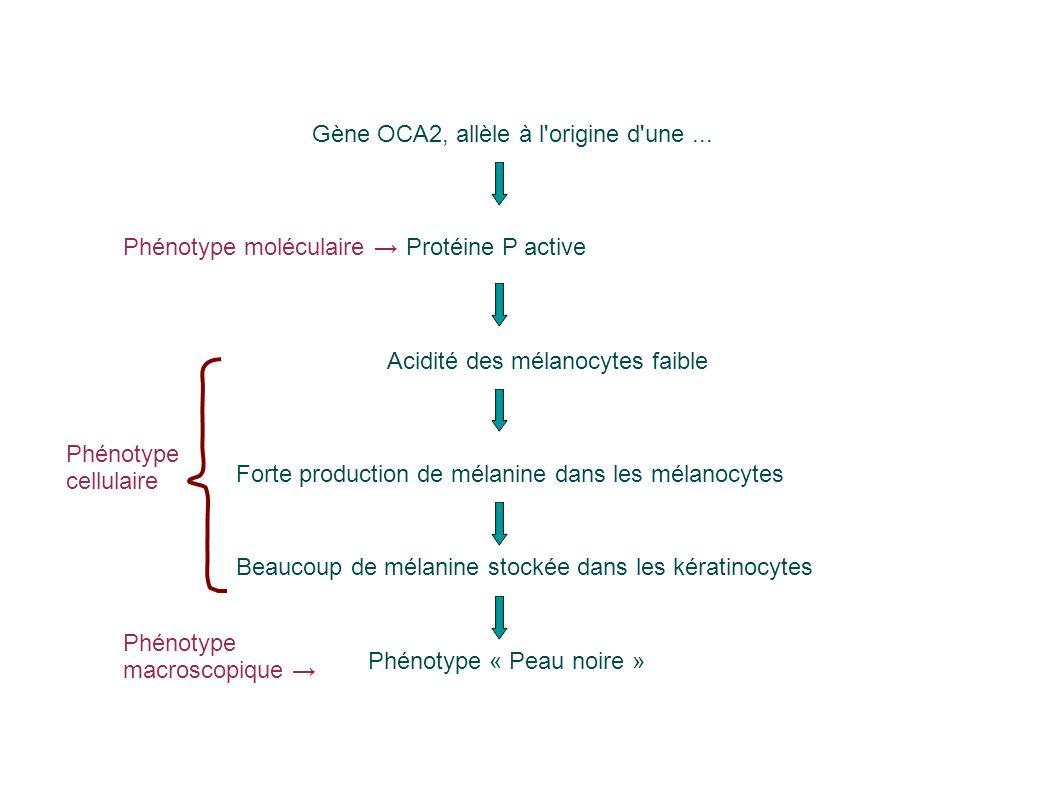 Phénotype « Peau noire » Beaucoup de mélanine stockée dans les kératinocytes Forte production de mélanine dans les mélanocytes Protéine P active Acidité des mélanocytes faible Gène OCA2, allèle à l origine d une...