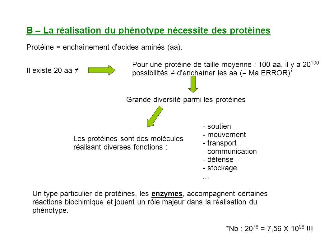 B – La réalisation du phénotype nécessite des protéines Les protéines sont des molécules réalisant diverses fonctions : - soutien - mouvement - transport - communication - défense - stockage...
