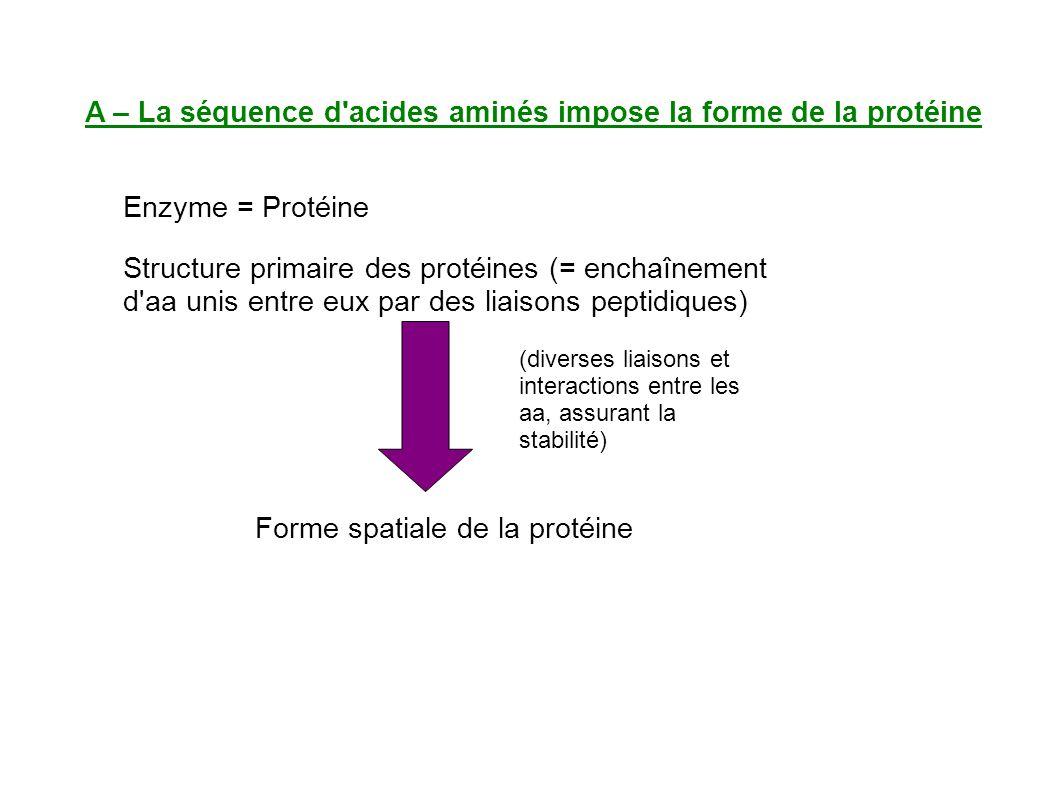 A – La séquence d acides aminés impose la forme de la protéine Enzyme = Protéine Structure primaire des protéines (= enchaînement d aa unis entre eux par des liaisons peptidiques) Forme spatiale de la protéine (diverses liaisons et interactions entre les aa, assurant la stabilité)
