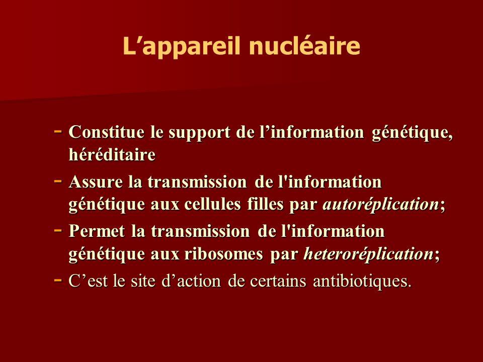 Lappareil nucléaire - Constitue le support de linformation génétique, héréditaire - Assure la transmissionde l'information génétique aux cellules fill