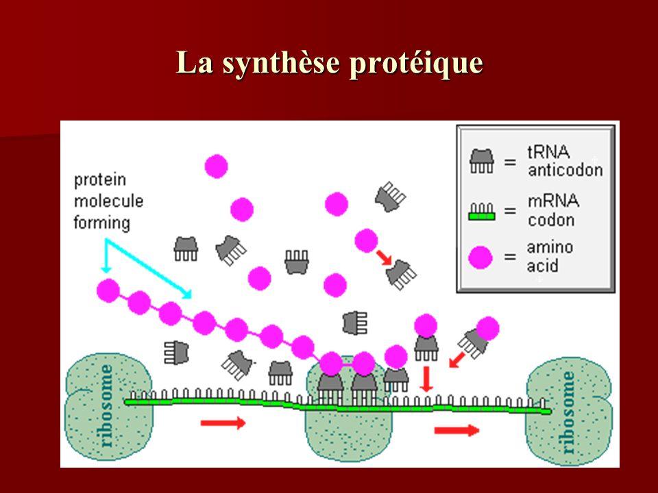 La synthèse protéique