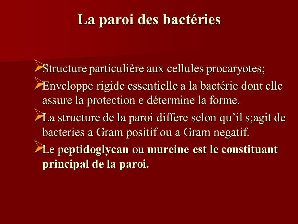 La paroi des bactéries Structure particulière aux cellules procaryotes; Structure particulière aux cellules procaryotes; Enveloppe rigide essentielle a la bactérie dont elle assure la protection e détermine la forme.