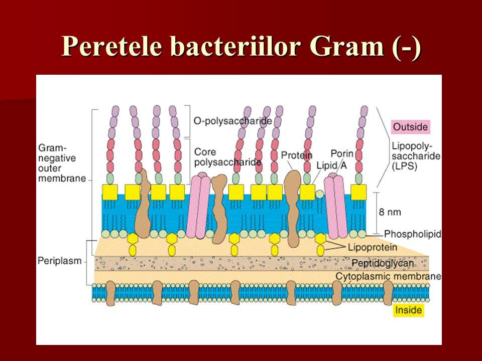 Peretele bacteriilor Gram (-)