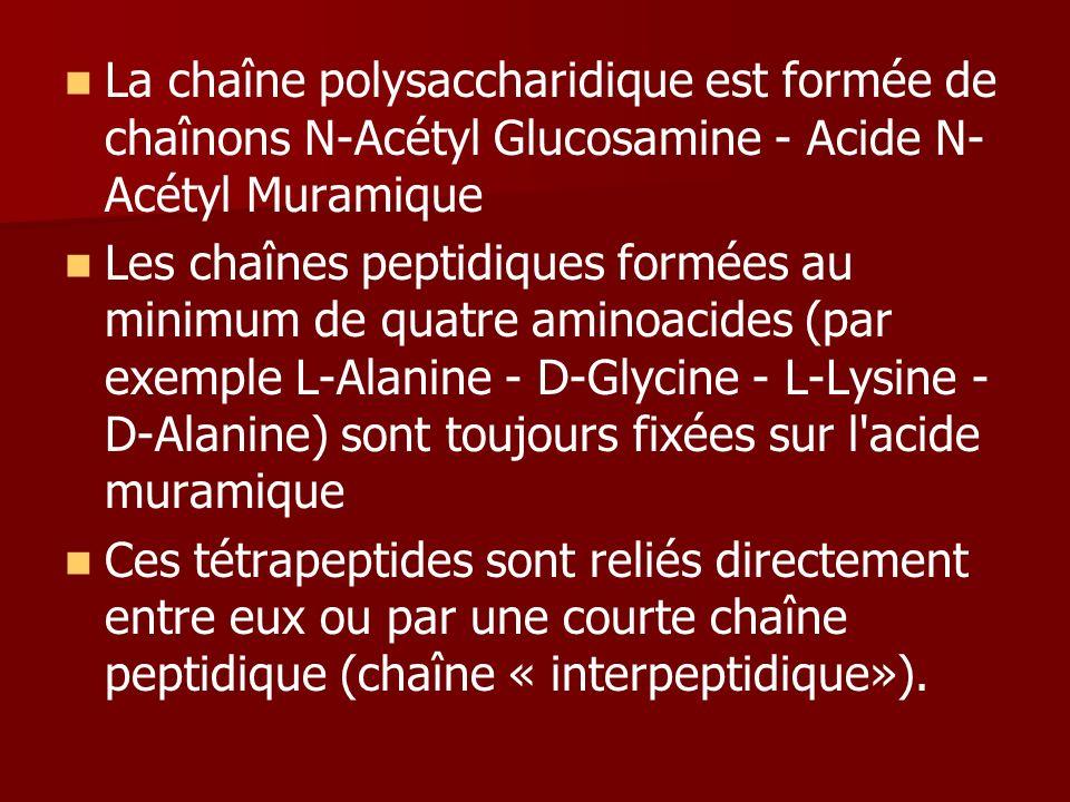 La chaîne polysaccharidique est formée de chaînons N-Acétyl Glucosamine - Acide N- Acétyl Muramique Les chaînes peptidiques formées au minimum de quatre aminoacides (par exemple L-Alanine - D-Glycine - L-Lysine - D-Alanine) sont toujours fixées sur l acide muramique Ces tétrapeptides sont reliés directement entre eux ou par une courte chaîne peptidique (chaîne « interpeptidique»).