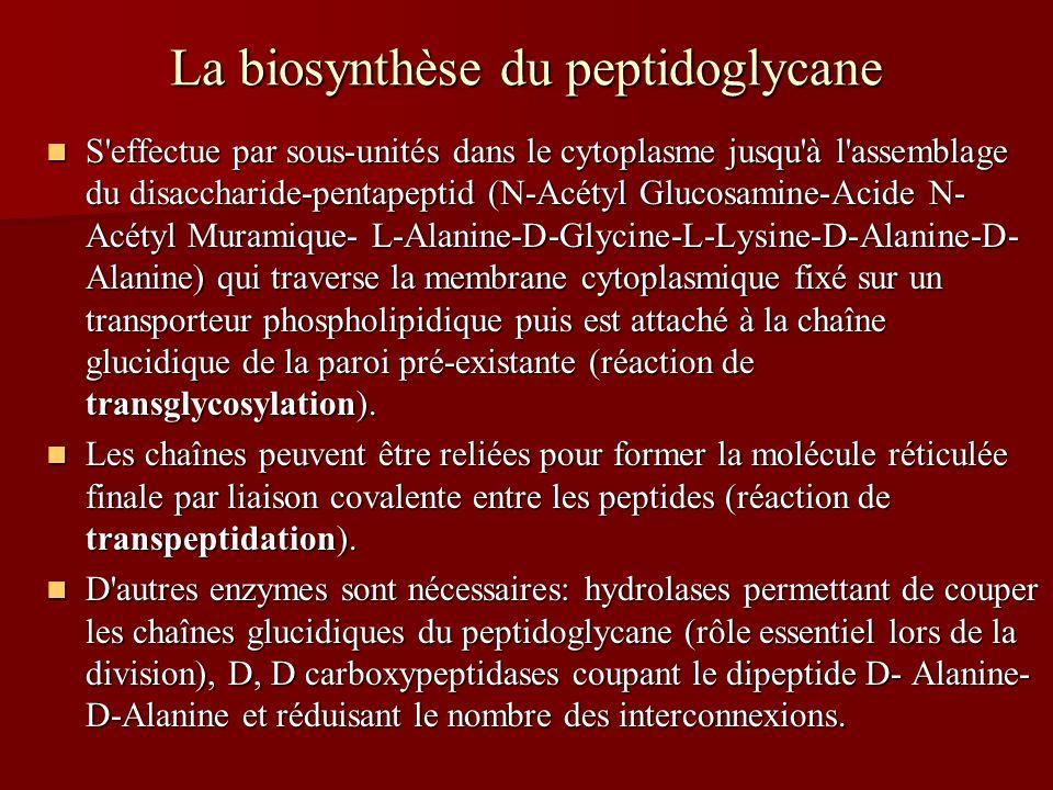 La biosynthèse du peptidoglycane S effectue par sous-unités dans le cytoplasme jusqu à l assemblage du disaccharide-pentapeptid (N-Acétyl Glucosamine-Acide N- Acétyl Muramique- L-Alanine-D-Glycine-L-Lysine-D-Alanine-D- Alanine) qui traverse la membrane cytoplasmique fixé sur un transporteur phospholipidique puis est attaché à la chaîne glucidique de la paroi pré-existante (réaction de transglycosylation).