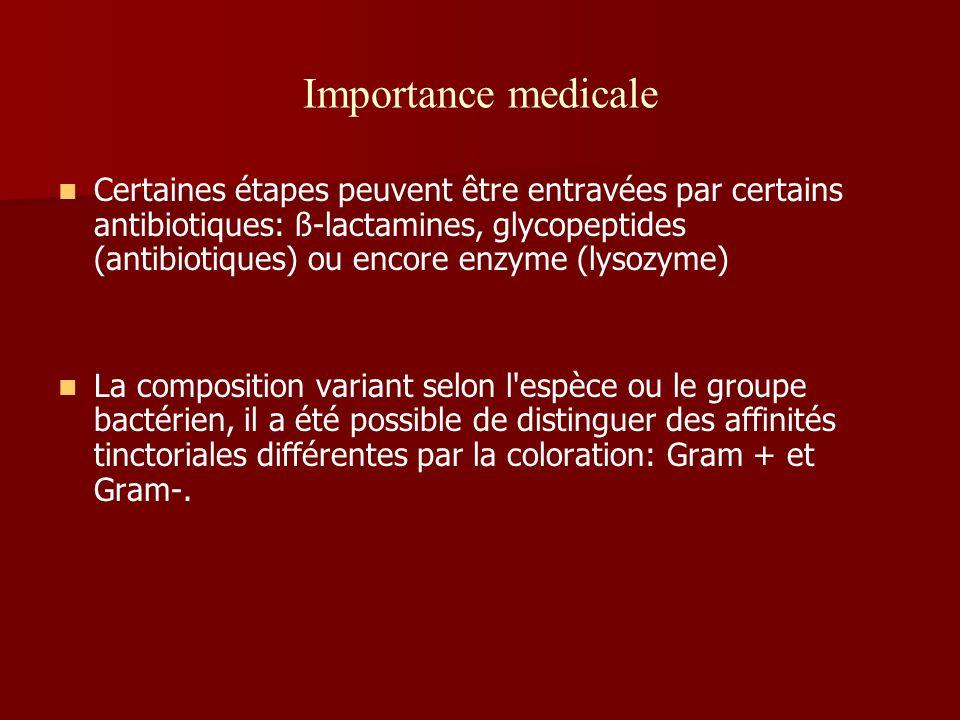 Importance medicale Certaines étapes peuvent être entravées par certains antibiotiques: ß-lactamines, glycopeptides (antibiotiques) ou encore enzyme (