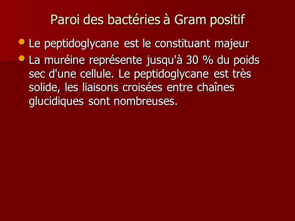 Paroi des bactéries à Gram positif Le peptidoglycane est le constituant majeur Le peptidoglycane est le constituant majeur La muréine représente jusqu à 30 % du poids sec d une cellule.