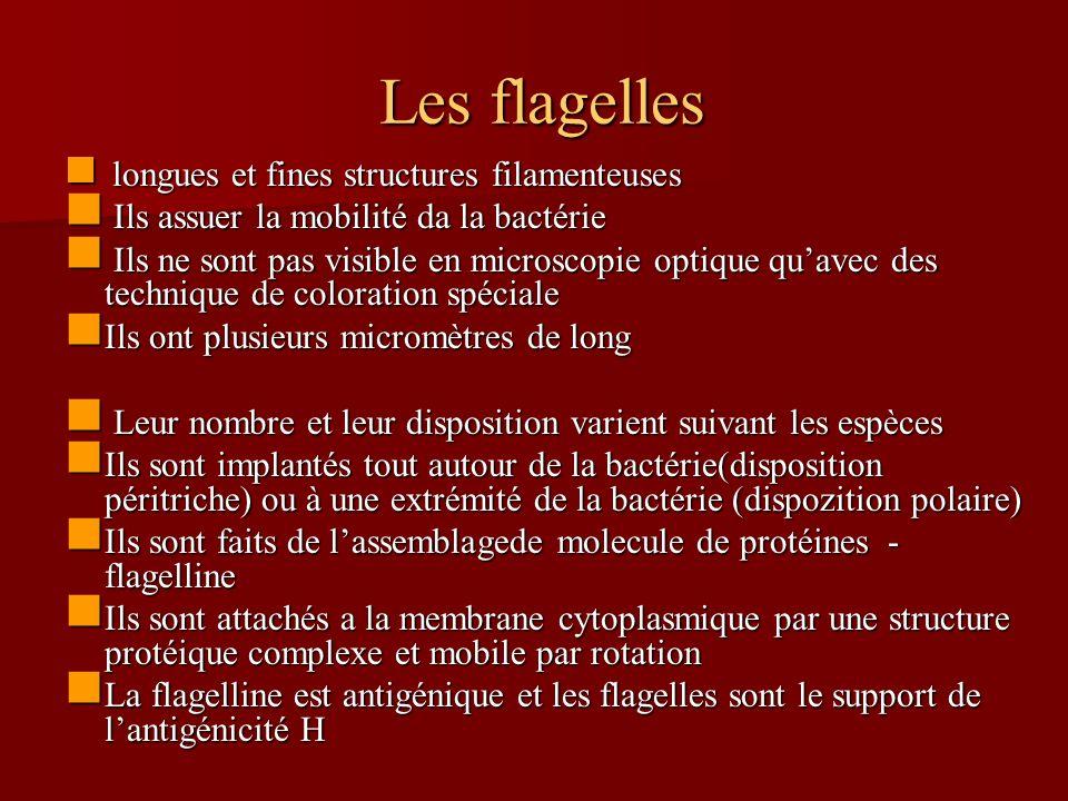 Les flagelles Les flagelles longues et fines structures filamenteuses longues et fines structures filamenteuses Ils assuer la mobilité da la bactérie