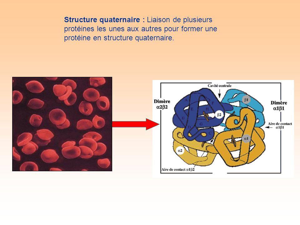 Structure quaternaire : Liaison de plusieurs protéines les unes aux autres pour former une protéine en structure quaternaire.