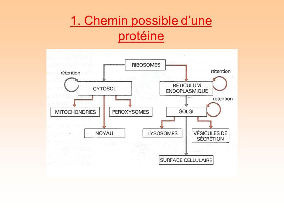 1. Chemin possible dune protéine
