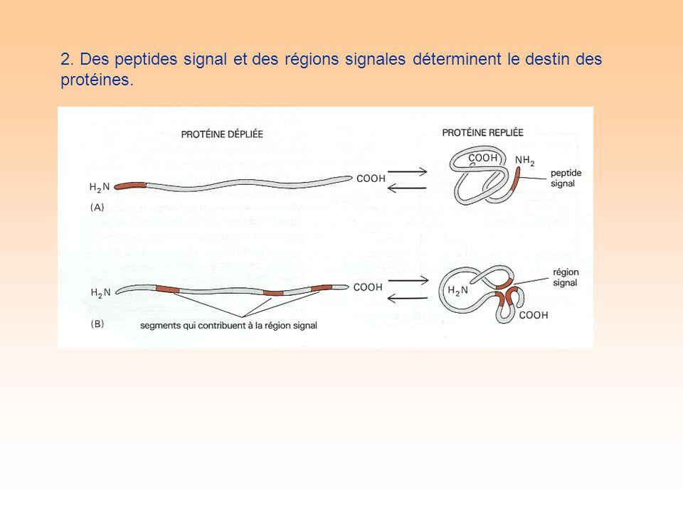 2. Des peptides signal et des régions signales déterminent le destin des protéines.