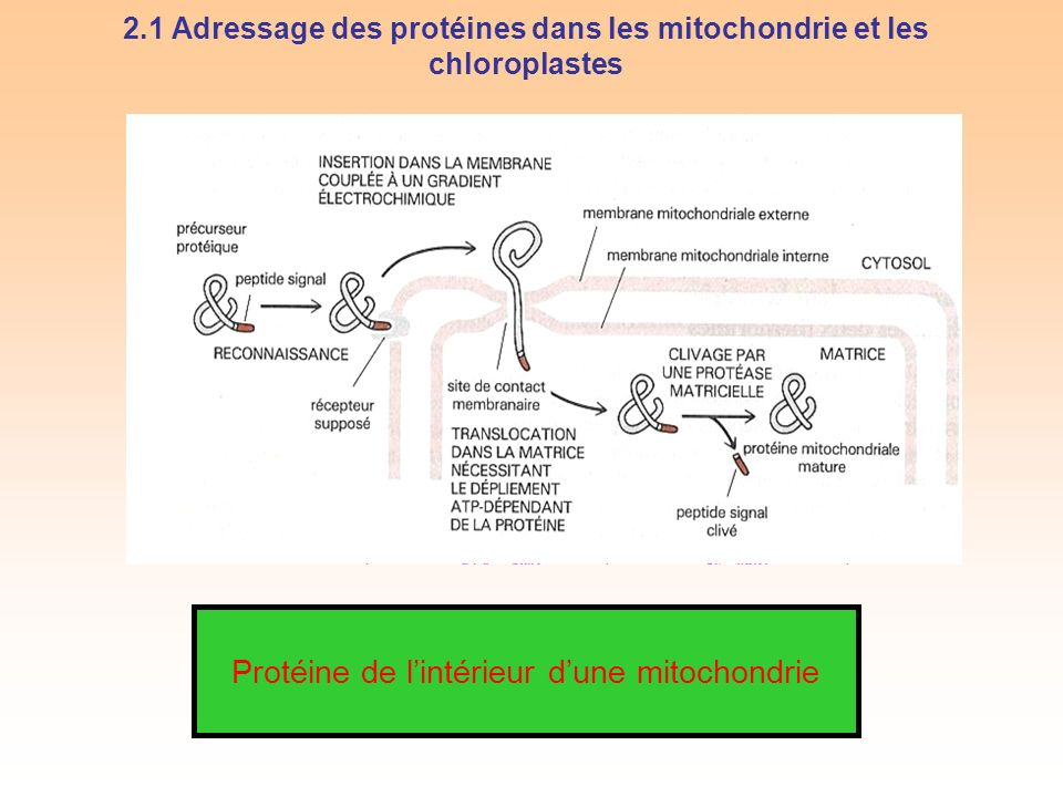 2.1 Adressage des protéines dans les mitochondrie et les chloroplastes Protéine de lintérieur dune mitochondrie