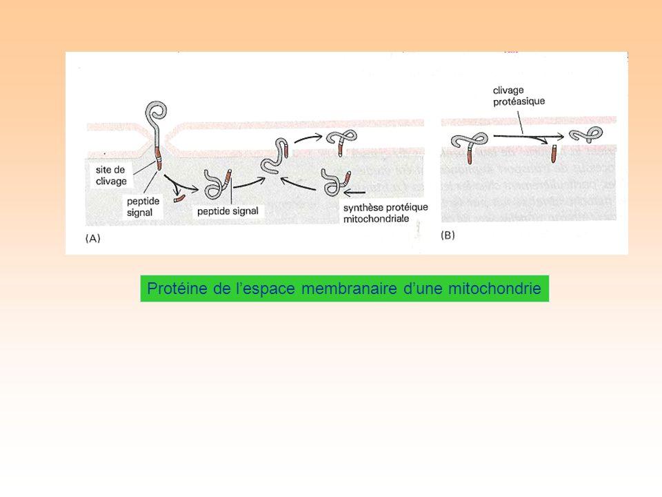 Protéine de lespace membranaire dune mitochondrie