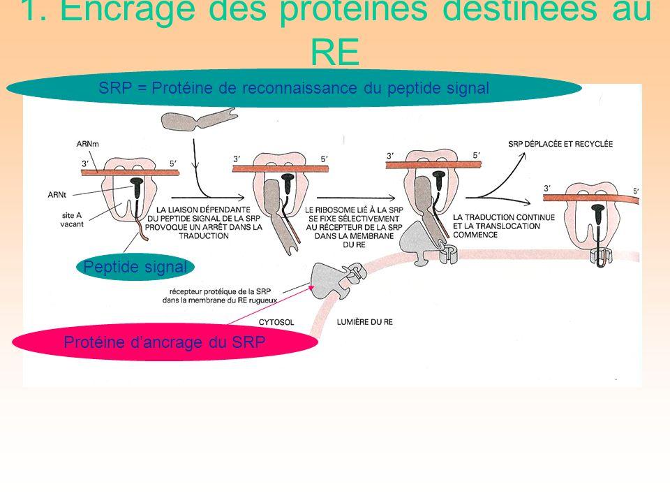Peptide signal SRP = Protéine de reconnaissance du peptide signal Protéine dancrage du SRP 1.