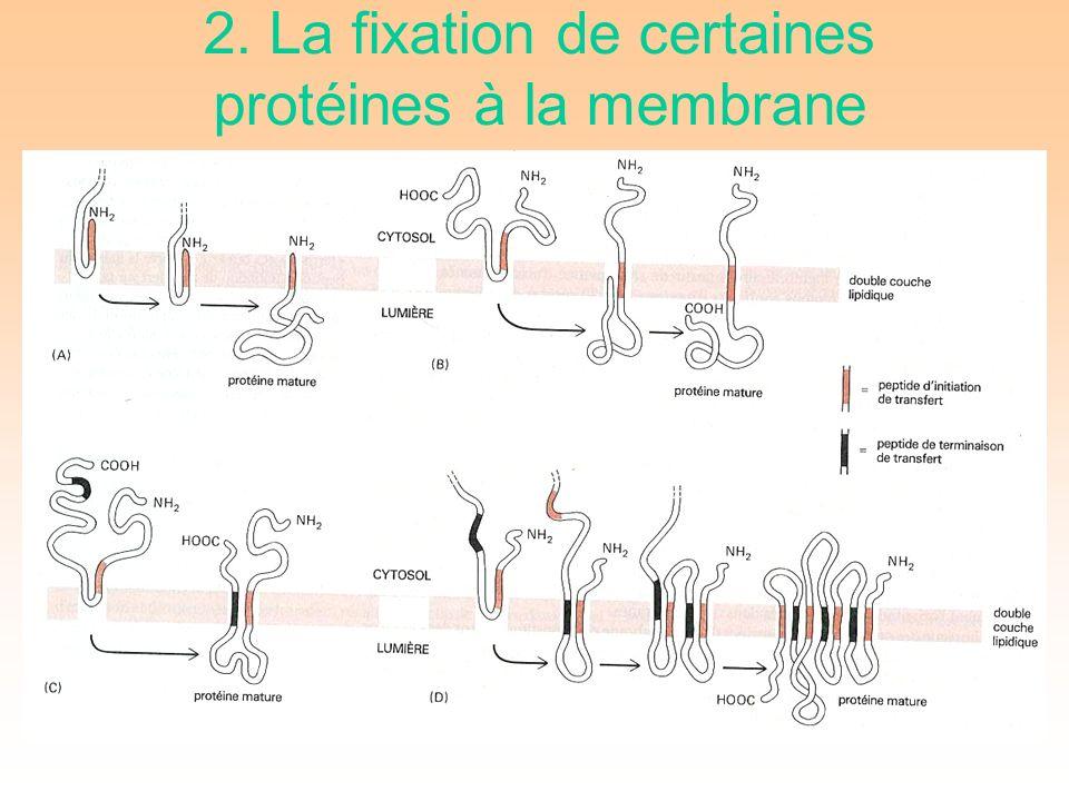 2. La fixation de certaines protéines à la membrane