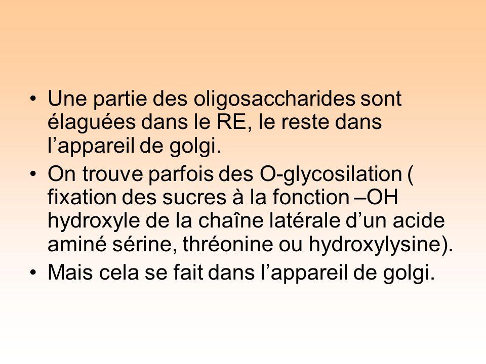 Une partie des oligosaccharides sont élaguées dans le RE, le reste dans lappareil de golgi.