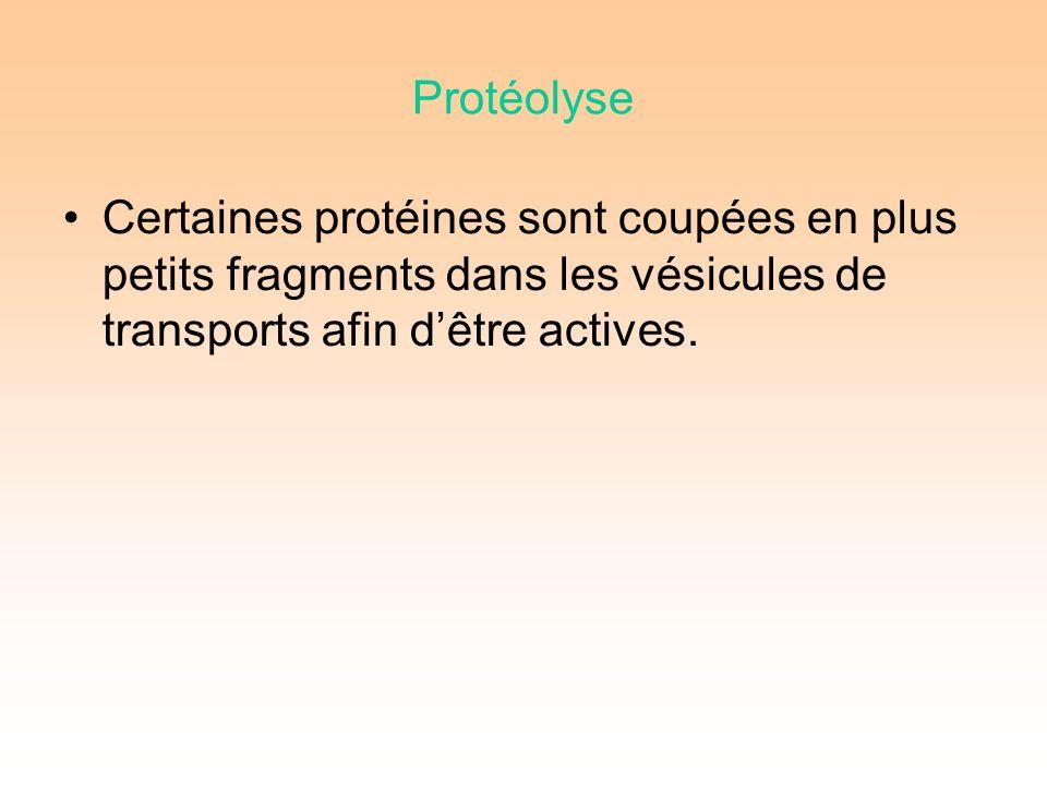Protéolyse Certaines protéines sont coupées en plus petits fragments dans les vésicules de transports afin dêtre actives.