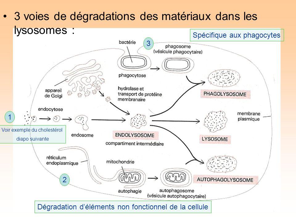 3 voies de dégradations des matériaux dans les lysosomes : 1 2 3 Spécifique aux phagocytes Dégradation déléments non fonctionnel de la cellule Voir exemple du cholestérol diapo suivante