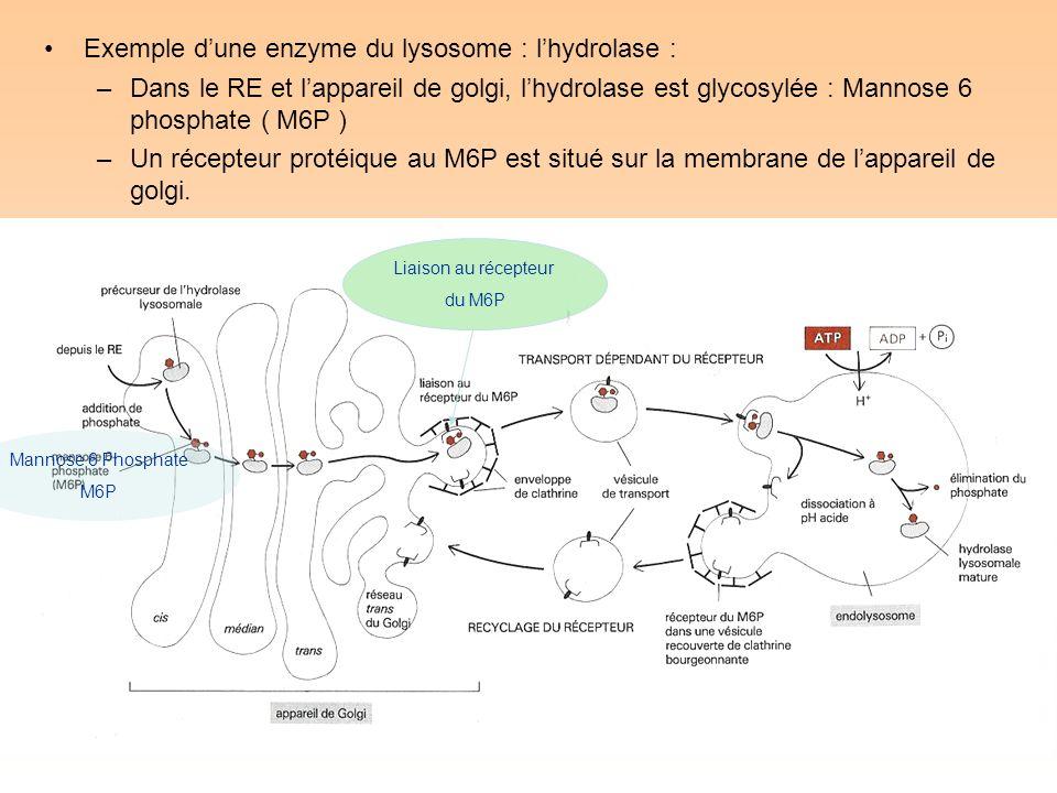 Exemple dune enzyme du lysosome : lhydrolase : –Dans le RE et lappareil de golgi, lhydrolase est glycosylée : Mannose 6 phosphate ( M6P ) –Un récepteur protéique au M6P est situé sur la membrane de lappareil de golgi.