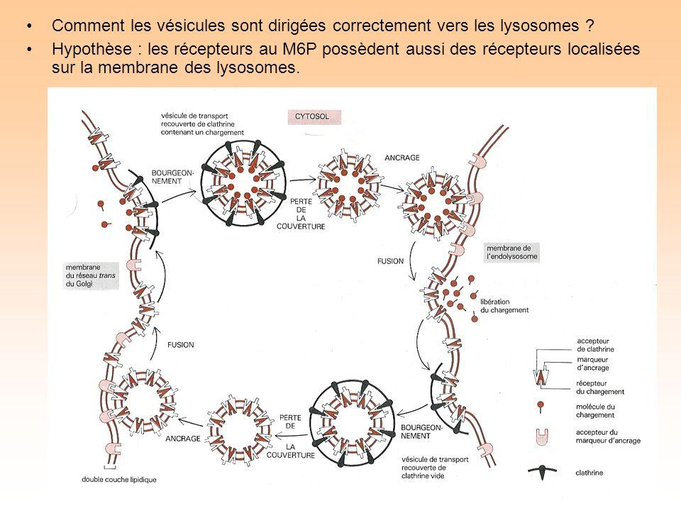 Comment les vésicules sont dirigées correctement vers les lysosomes .