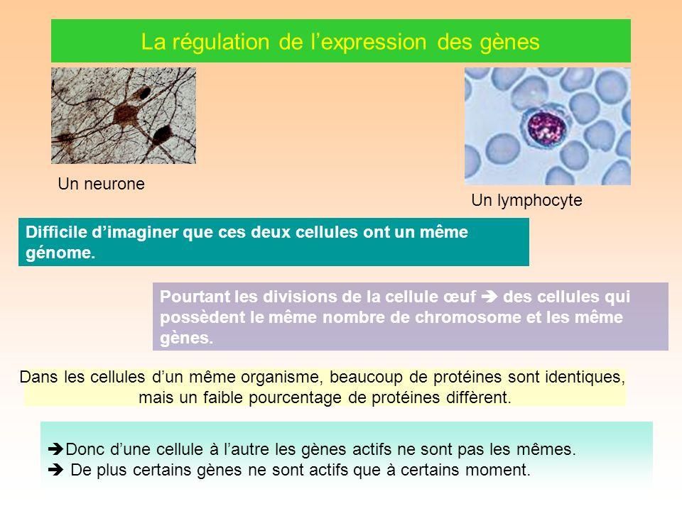 La régulation de lexpression des gènes Un neurone Un lymphocyte Difficile dimaginer que ces deux cellules ont un même génome.