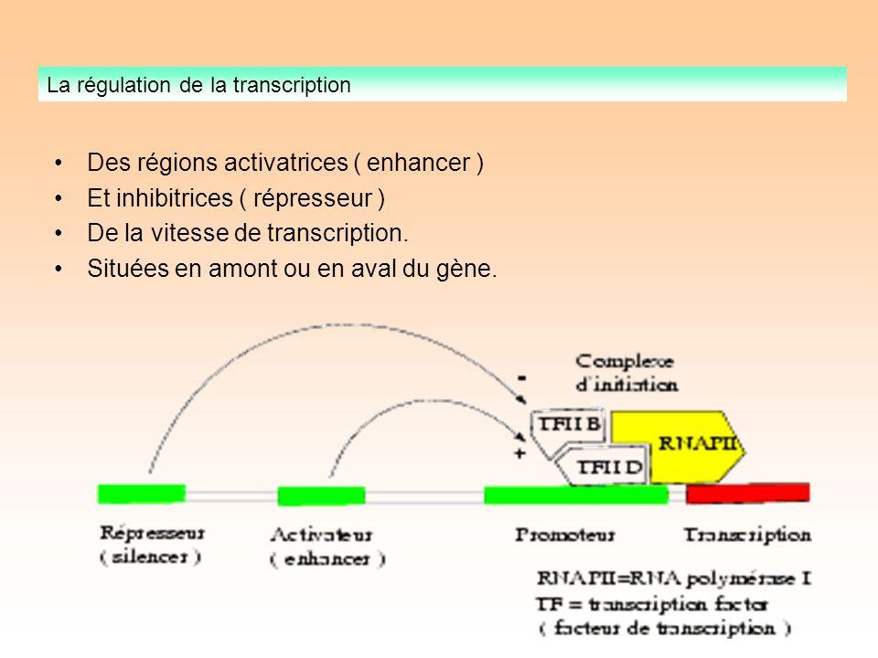 Des régions activatrices ( enhancer ) Et inhibitrices ( répresseur ) De la vitesse de transcription.