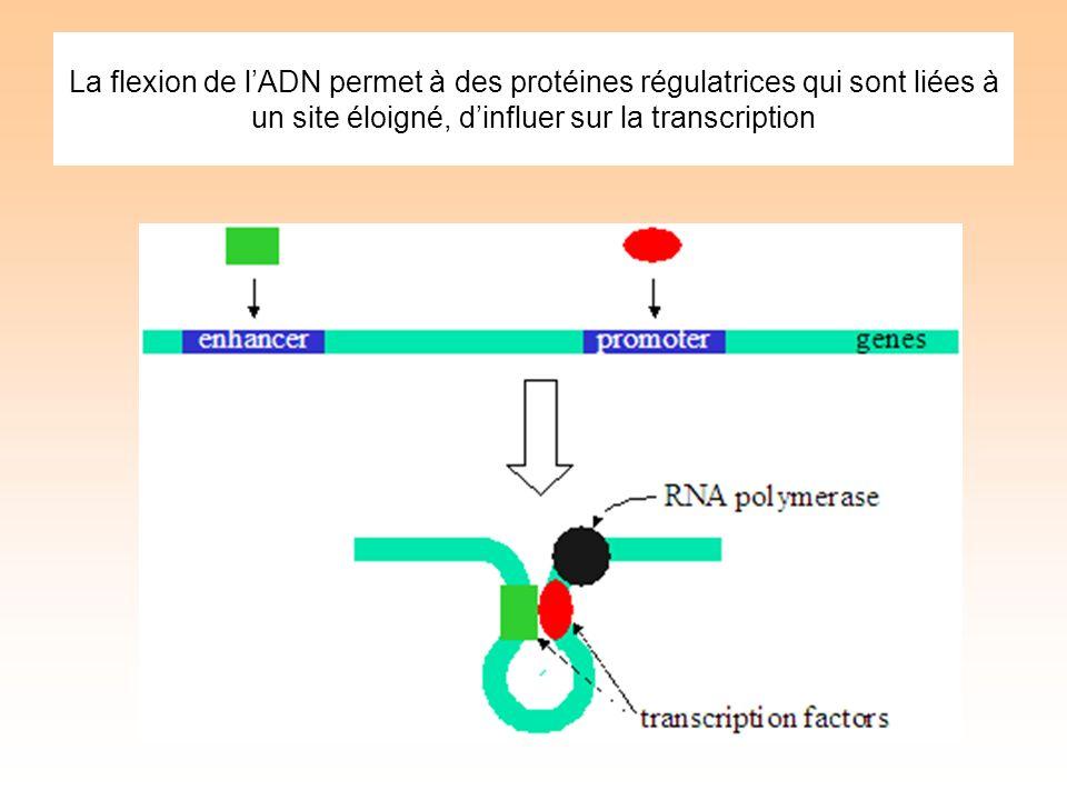 La flexion de lADN permet à des protéines régulatrices qui sont liées à un site éloigné, dinfluer sur la transcription