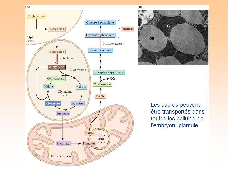 Les sucres peuvent être transportés dans toutes les cellules de lembryon, plantule…