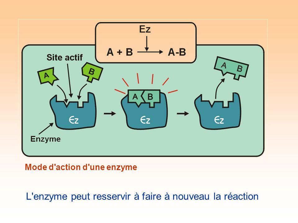 Mode d action d une enzyme L enzyme peut resservir à faire à nouveau la réaction