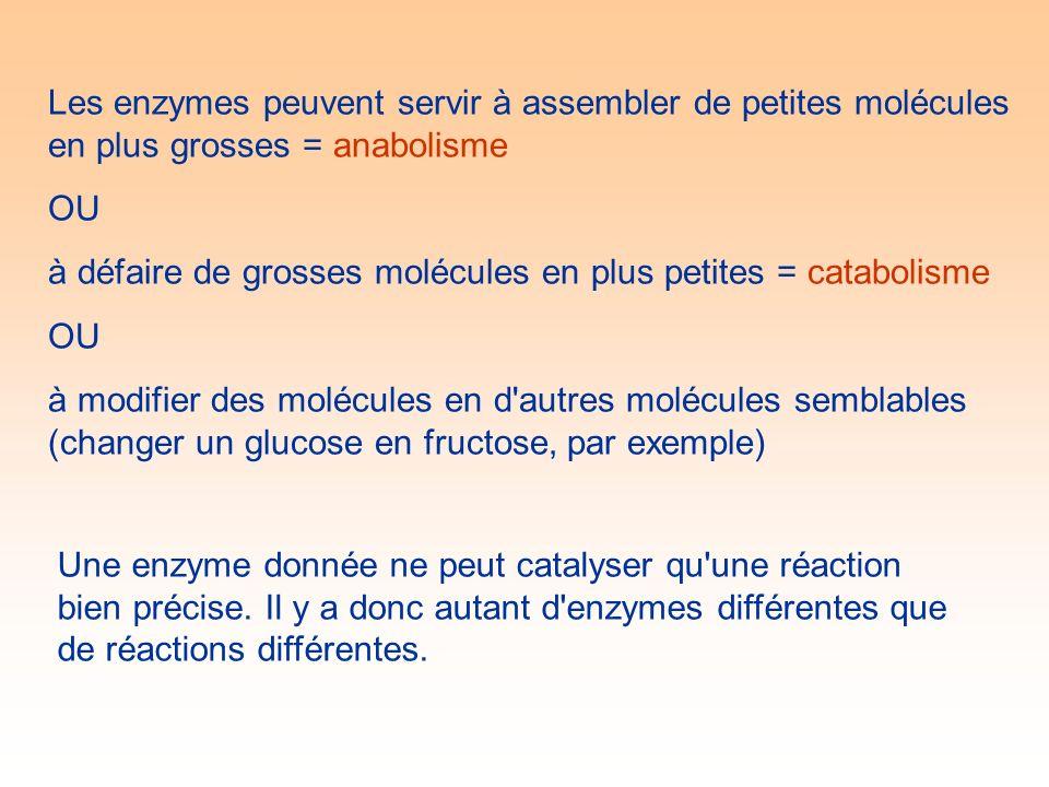Les enzymes peuvent servir à assembler de petites molécules en plus grosses = anabolisme OU à défaire de grosses molécules en plus petites = catabolisme OU à modifier des molécules en d autres molécules semblables (changer un glucose en fructose, par exemple) Une enzyme donnée ne peut catalyser qu une réaction bien précise.