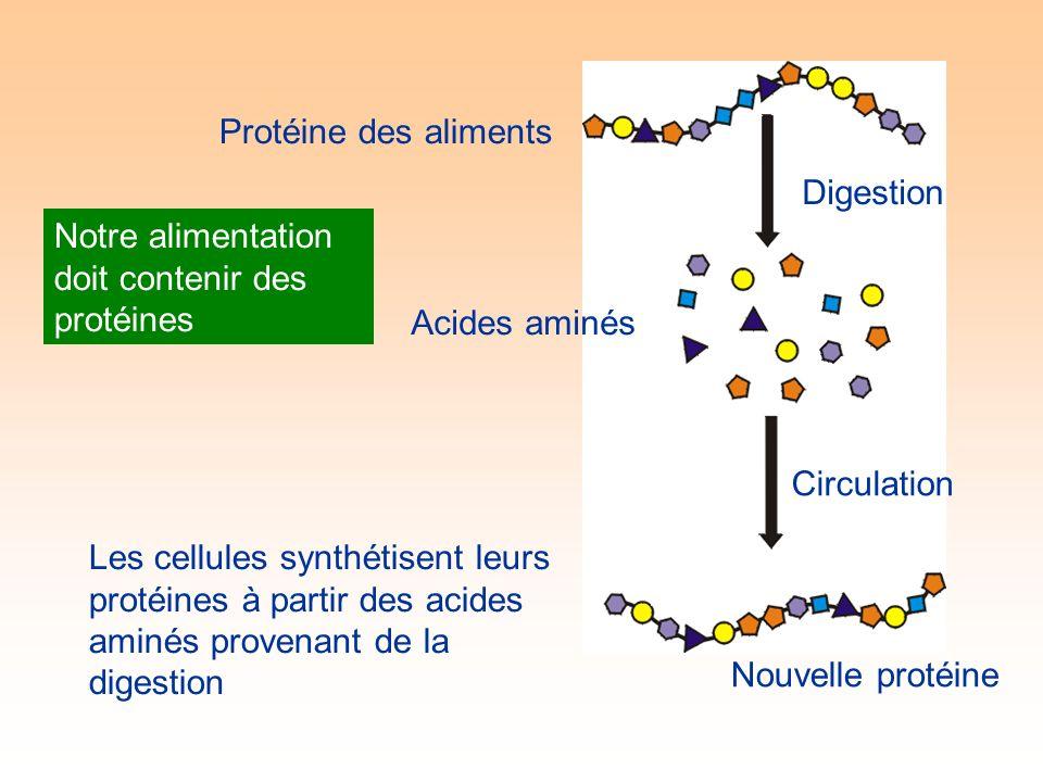 Protéine des aliments Digestion Acides aminés Circulation Les cellules synthétisent leurs protéines à partir des acides aminés provenant de la digestion Notre alimentation doit contenir des protéines Nouvelle protéine
