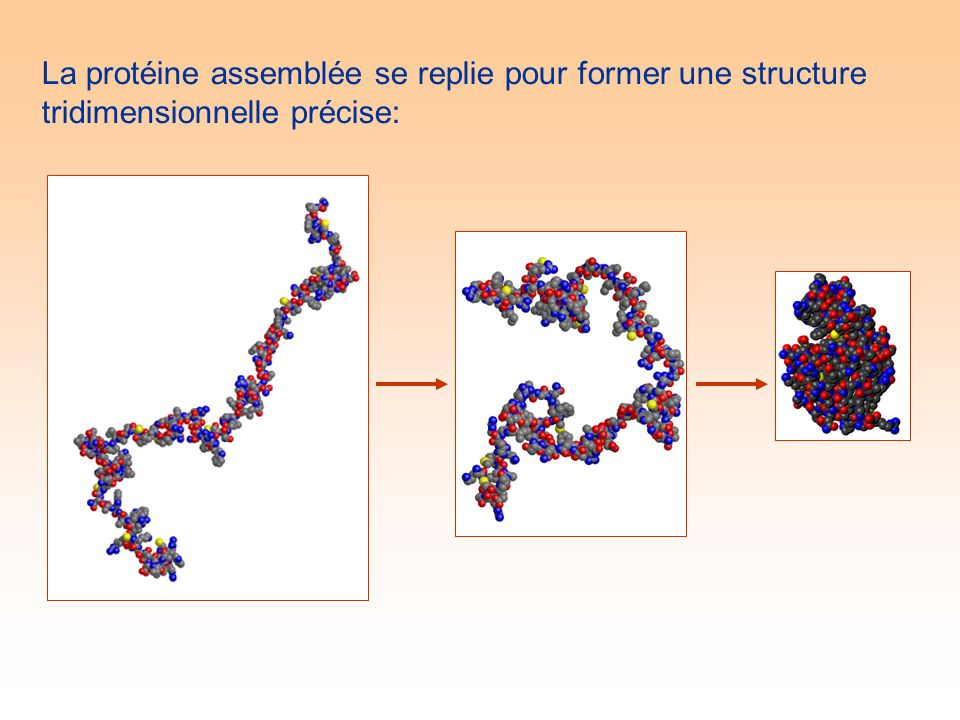 La protéine assemblée se replie pour former une structure tridimensionnelle précise: