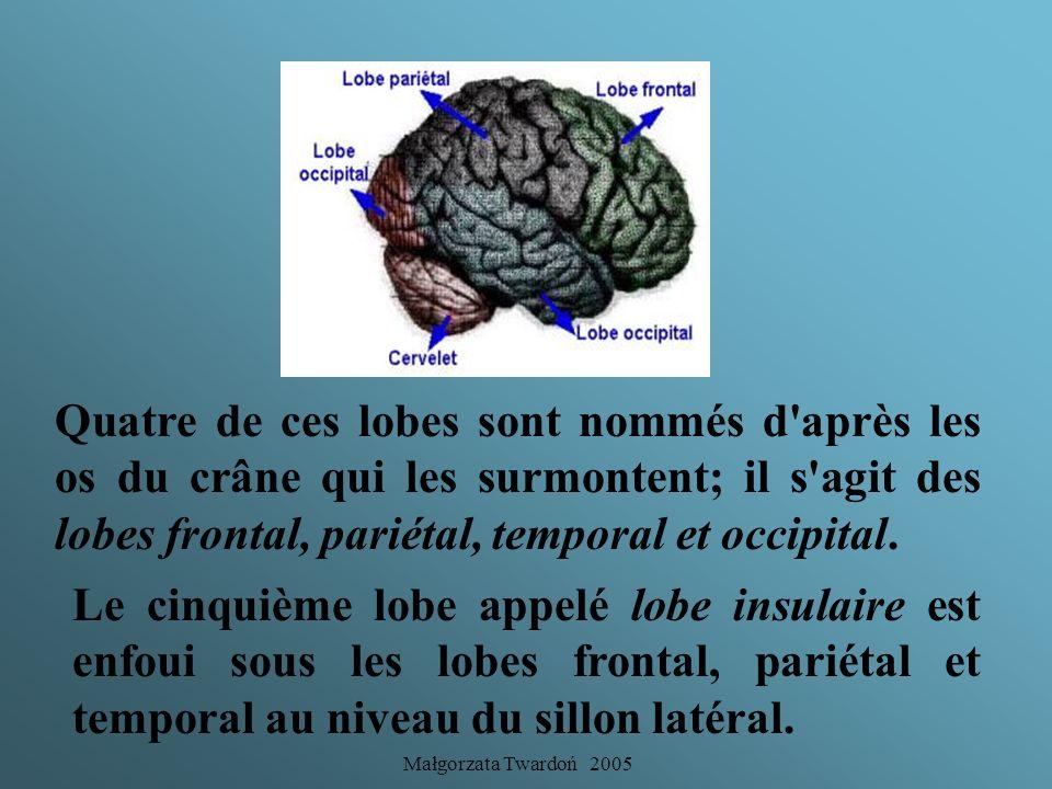 Małgorzata Twardoń 2005 La fissure longitudinale sépare le cerveau en deux hémisphères tandis que la fissure transverse sépare les hémisphères du cerv
