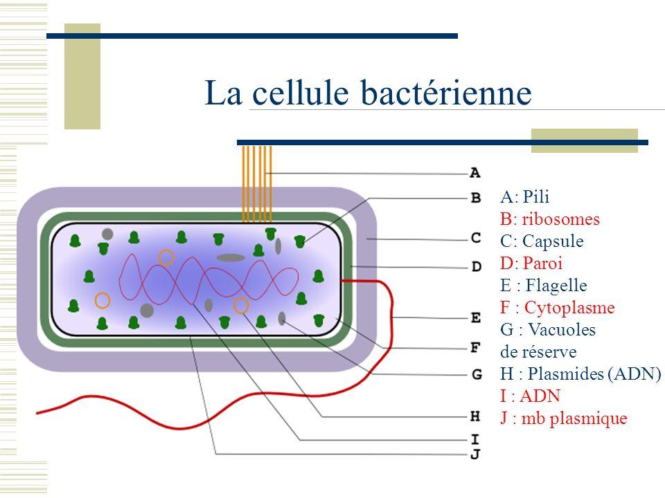 La cellule bactérienne A: Pili B: ribosomes C: Capsule D: Paroi E : Flagelle F : Cytoplasme G : Vacuoles de réserve H : Plasmides (ADN) I : ADN J : mb