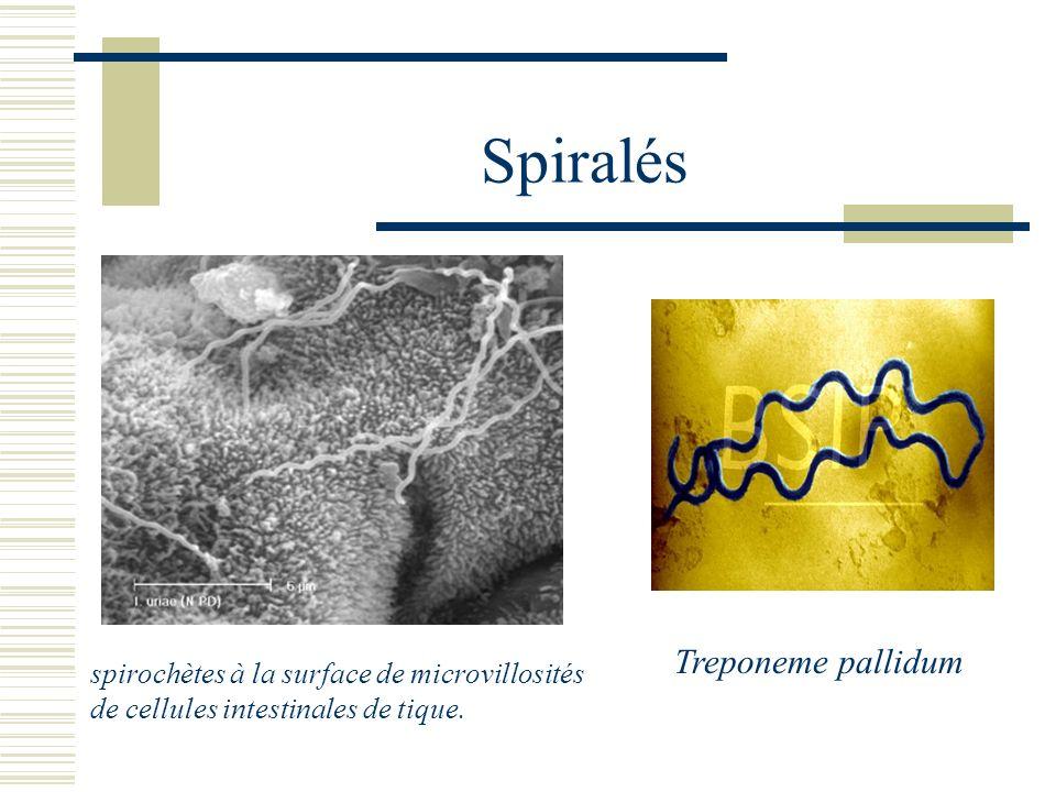 Spiralés Treponeme pallidum spirochètes à la surface de microvillosités de cellules intestinales de tique.