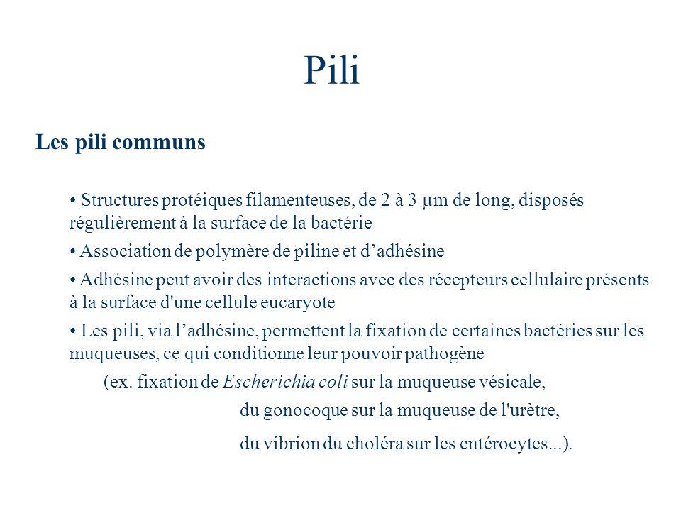 Pili Les pili communs Structures protéiques filamenteuses, de 2 à 3 µm de long, disposés régulièrement à la surface de la bactérie Association de poly