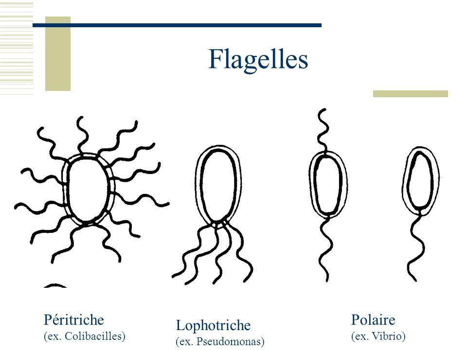 Flagelles Péritriche (ex. Colibacilles) Lophotriche (ex. Pseudomonas) Polaire (ex. Vibrio)