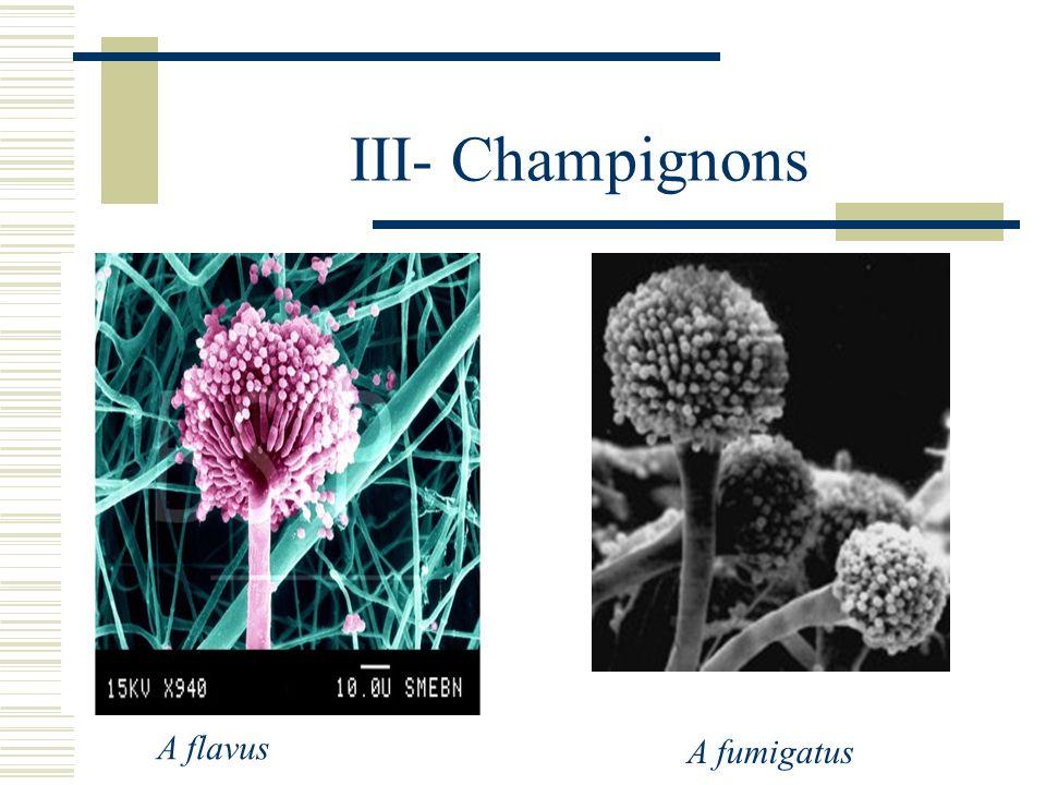 III- Champignons A flavus A fumigatus