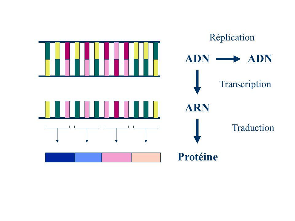 ADN ARN Protéine Transcription Traduction Réplication ADN