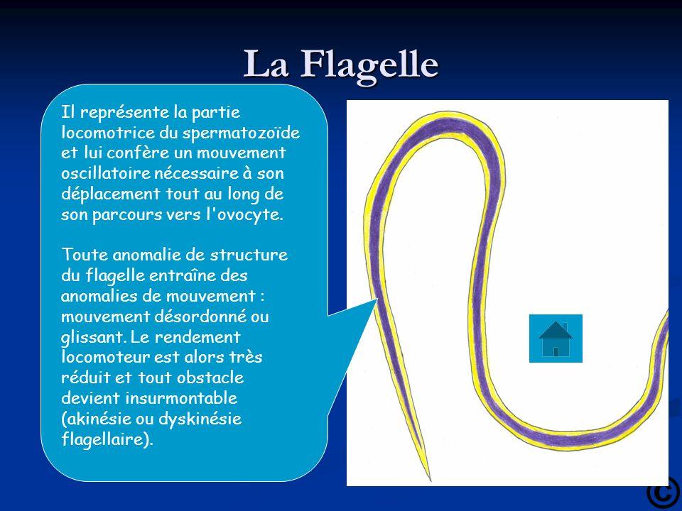 La Flagelle Il représente la partie locomotrice du spermatozoïde et lui confère un mouvement oscillatoire nécessaire à son déplacement tout au long de