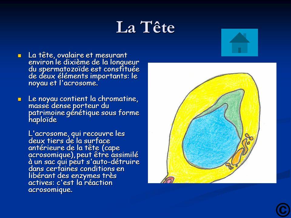 La Tête La tête, ovalaire et mesurant environ le dixième de la longueur du spermatozoïde est constituée de deux éléments importants: le noyau et l'acr