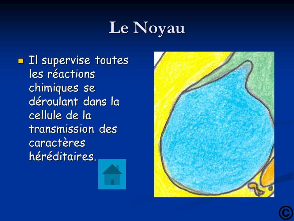 Le Noyau Il supervise toutes les réactions chimiques se déroulant dans la cellule de la transmission des caractères héréditaires. Il supervise toutes
