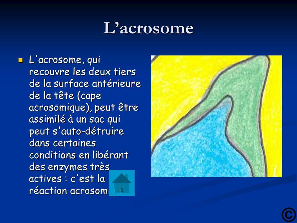 Lacrosome L'acrosome, qui recouvre les deux tiers de la surface antérieure de la tête (cape acrosomique), peut être assimilé à un sac qui peut s'auto-
