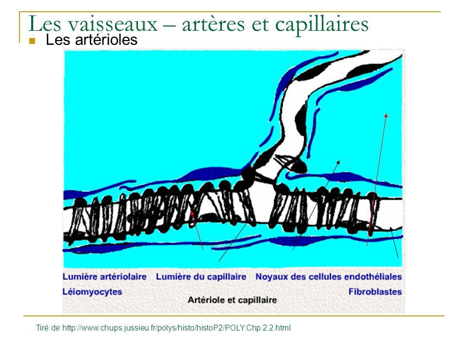 Les vaisseaux – artères et capillaires Les artérioles Tiré de http://www.chups.jussieu.fr/polys/histo/histoP2/POLY.Chp.2.2.html
