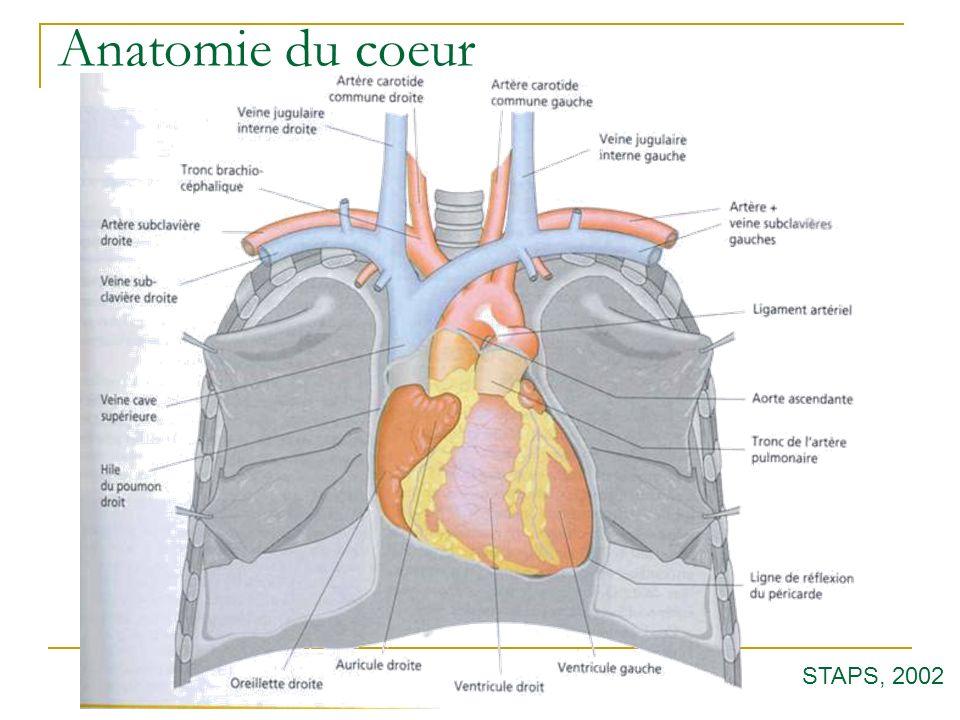 Anatomie du coeur STAPS, 2002