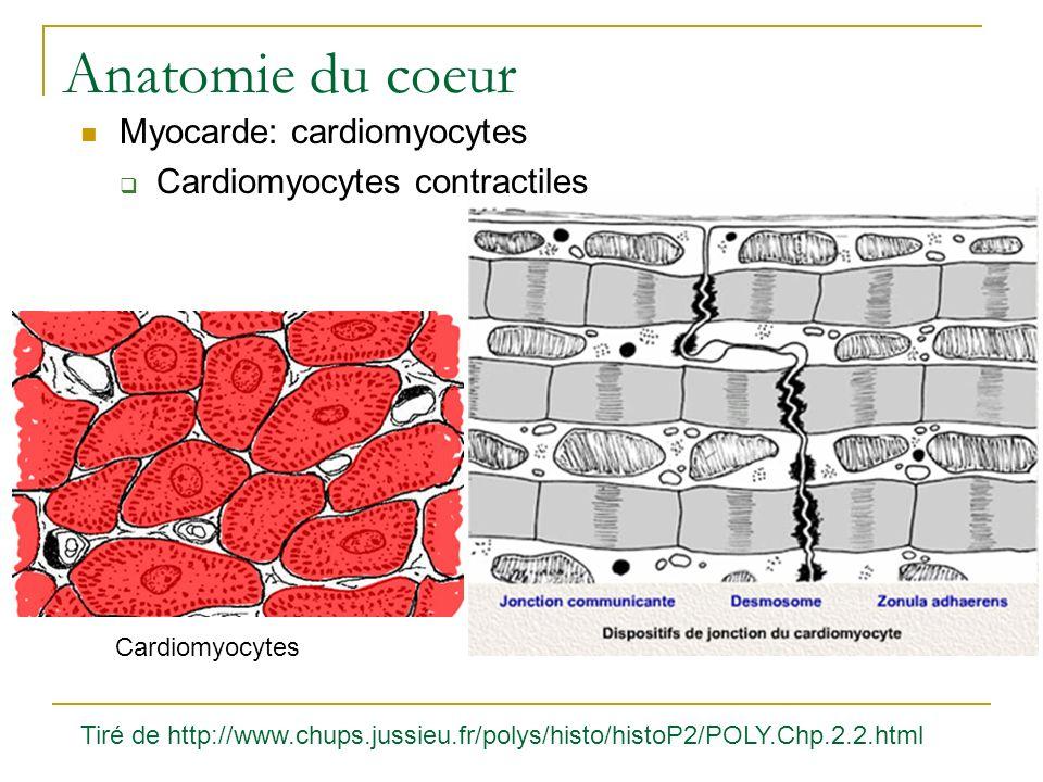 Anatomie du coeur Myocarde: cardiomyocytes Cardiomyocytes contractiles Cardiomyocytes Tiré de http://www.chups.jussieu.fr/polys/histo/histoP2/POLY.Chp