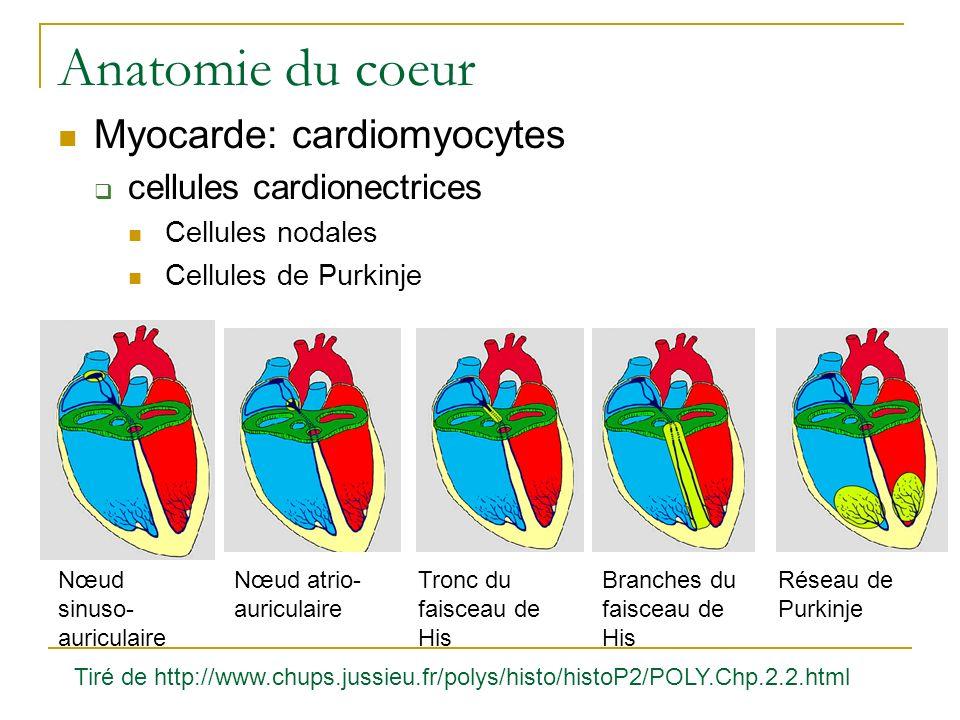 Anatomie du coeur Myocarde: cardiomyocytes cellules cardionectrices Cellules nodales Cellules de Purkinje Nœud sinuso- auriculaire Nœud atrio- auricul