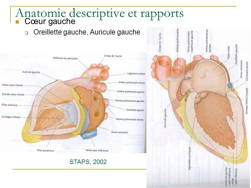 Anatomie descriptive et rapports Cœur gauche Oreillette gauche, Auricule gauche STAPS, 2002